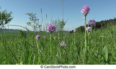 sauvage, orchis, tridentata, orchidée