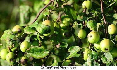 sauvage, petit arbre, pommes