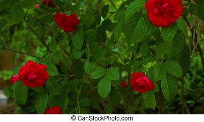 sauvage, roses, buisson