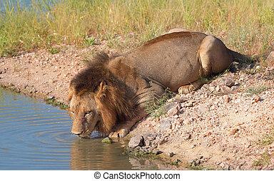 savane, leo), (panthera, unique, lion