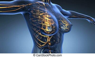 science, corps, boucle, anatomie, humain