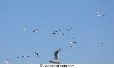 seagull vole haut