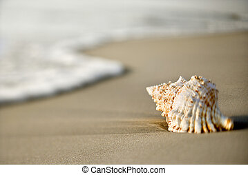 seashell, plage.