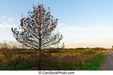 sec, bleu, elliottii, fond, horizon, arbre, côté, pinus, route
