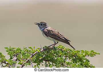 sec, petit, branche, perché, oiseau, etosha