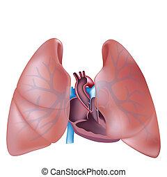section, coeur, poumons, croix
