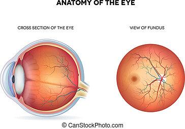 section, fundus, croix, anatomie, oeil, vue