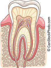 section, illustration médicale, dent