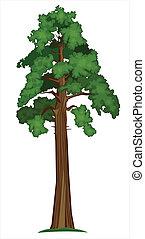 sequoia, vecteur