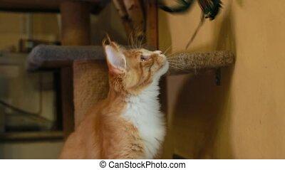 shag, nègre, chat, blanc, chaton, chouchou, animaux familiers, home., rouges, jouer, plume, chat, curieux, jeune, maine, surprenant, jouet, rigolote
