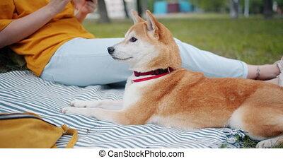 shiba, inu, couverture, parc, chien, suivant, propriétaire, portrait, herbe, mensonge