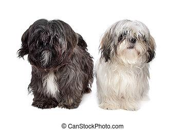 shih tzu, deux, chiens
