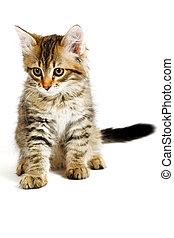 sibérien, chaton