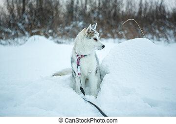 sibérien, portrait, husky.