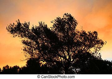 silhouette, olive, coucher soleil, arbre