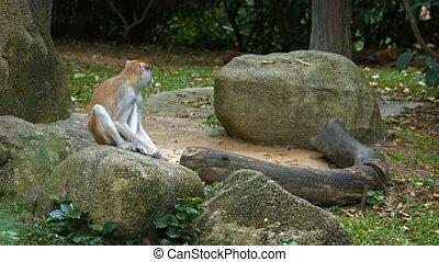 singe, zoo., ultrahd, vidéo, rocher, patas, mignon