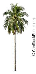 size., isolé, blanc, xxl, palmier, noix coco, arrière-plan.
