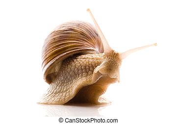 snail., animal, isolé, blanc