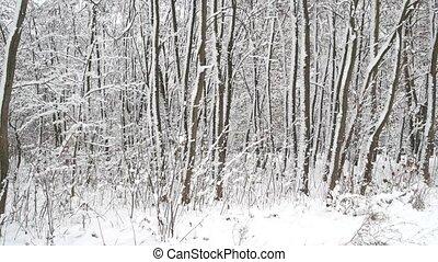snow., grand, couvert, forêt, arbres