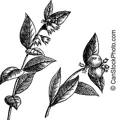 snowberry, symphoricarpos, vendange, engraving., ou, racemosus
