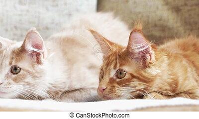 sofa., maison, jouer ensemble, curieux, rouges, chats, deux, chat, rigolote, gingembre, jeune, nègre, chatons, maine, shag
