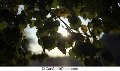 soleil, arbre, par, pousse feuilles, coucher soleil, ou, levers de soleil