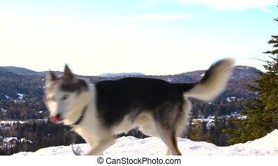 sommet montagne, heureux, alaska, husky, chien