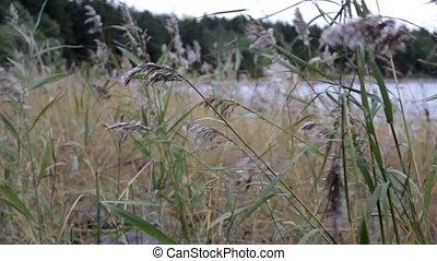 son, swayed, tiges, eau, herbe, vent