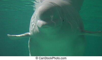 sous-marin, baleine, natation, beluga