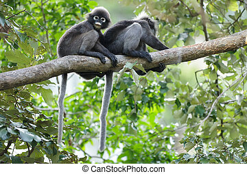 spectacled, branche, langur