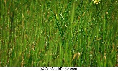 spikelets, beaucoup, herbe sauvage, battement des gouvernes, vent