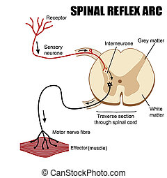 spinal, arc, réflexe