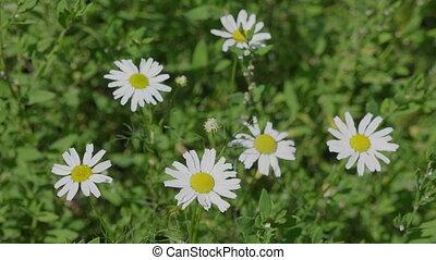 spring., haut fin, camomille, fleurir, blanc