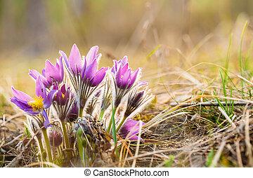spring., jeune, patens, tôt, fleurs sauvages, pulsatilla, pasqueflower