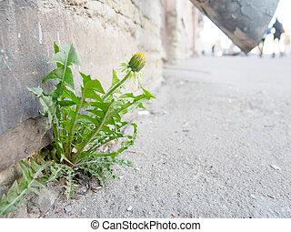 sprouted, fleur, miracle, arrivé, asphalte, ville, par, pissenlit