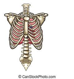 squelette, fond, isolé, anatomie, humain, blanc, torse