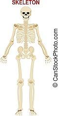 squelette humain, fond blanc, isolé