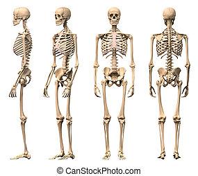 squelette, mâle, rendering., correct, scientifiquement, vues, coupure, devant, quatre, dos, humain, included., perspective., sentier, photorealistic, 3-d, côté