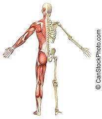 squelette, musculaire, fente, mâle, vue postérieure