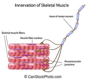 squelettique, muscle