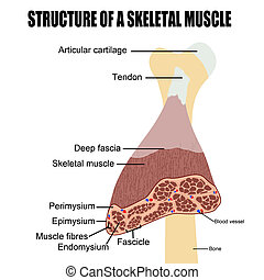 squelettique, muscle, structure