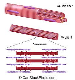 squelettique, muscle, structure, fibre