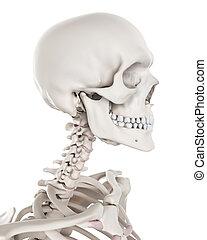 squelettique, -, système, cou