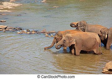 sri lanka, éléphant