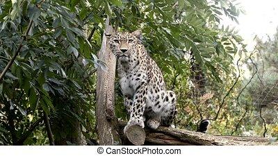 sri, (panthera, kotiya), ceylan, lankan, pardus, léopard