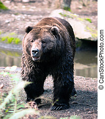 stands, grizzly, observer, américain, brun, nord, animal