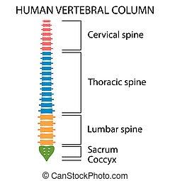 structure., colonne vertébrale, dos