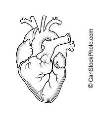 structure., orgue, heart., anatomique, interne, humain