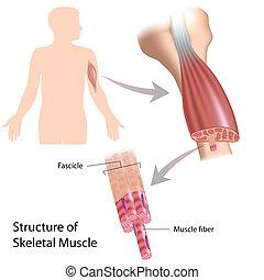 structure squelettique, eps10, muscle