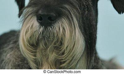 studio, haut fin, chien, sien, beard., nez, motion., noir, bleuâtre, arrière-plan., lent, schnauzer
